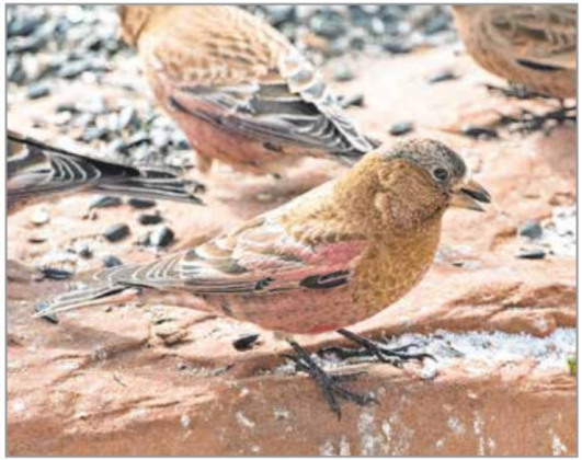 A brown-capped rosy-finch feeds on black oil sunflower seeds below a feeder.