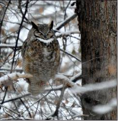 Sue Hirshman — Special to The Ouray County Plaindealer This Great Horned Owl was spotted during the recent Christmas Bird Count on Dec. 28, conducted by volunteers with the Black Canyon Audubon Society.