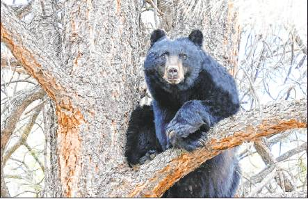 "Ten years after 74-year-old Donna Munson of Ouray was mauled to death by a bear outside her home, human behavior in Colorado largely remains unchanged when it comes to avoiding feeding the animals. There have been at least seven incidents of a bear attacking and injuring a person in the state this year. So state officials are enacting measures to try to alter bears' behavior, including a ""hazing"" program. Photo courtesy Colorado Parks and Wildlife"