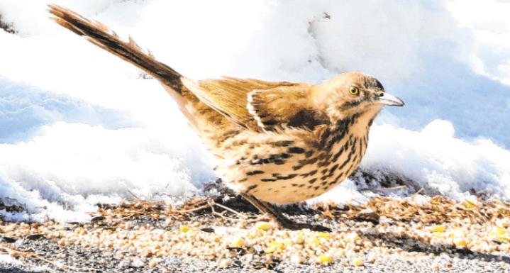 The first sighting of a Brown Thrasher in Ouray County happened when this bird decided to take residence at Chris Lance's house in Ridgway. The only other record of this bird in the area is from 1952 in Montrose. Photo courtesy Don Marsh