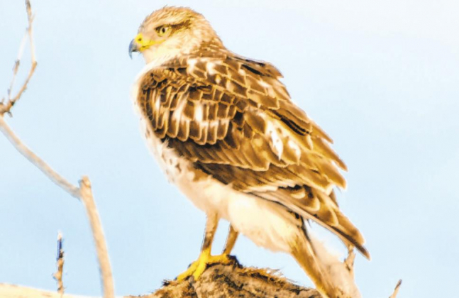Sue Hirshman — Special to The Ouray County Plaindealer This ferruginous hawk spotted in February in Ouray County is known for its large mouth, which allows it to eat rabbits whole. These hawks can also stalk prey on foot.