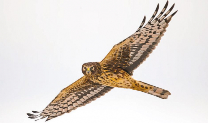 Northern Harrier hawks vary from other hawks in many ways, from their shape to their unique facial expressions, which can be owl-like. Unlike most hawks, Northern Harriers Photo courtesy Cornell Lab of Ornithology