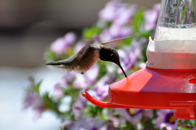 It isn't difficult to attract hummingbirds, as they are always looking for flowers or a feeder with sugar water.