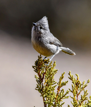 The Juniper Titmouse is a plain-colored bird and is easy to overlook, but is common in piñon-juniper woodlands and has a rapid-fire chattering call. Photo courtesy Cornell Lab of Ornithology/Catherine Harris